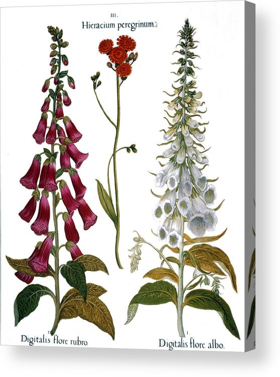 1613 Acrylic Print featuring the photograph Foxglove And Hawkweed by Granger