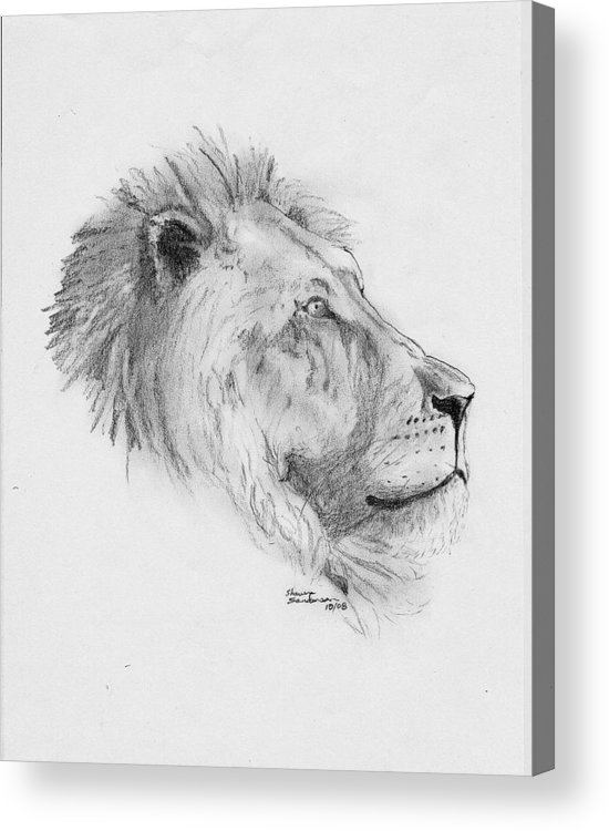 Lion Acrylic Print featuring the drawing King by Shawn Sanderson