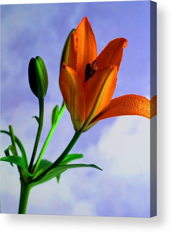 Flower Acrylic Print featuring the photograph Morning Bloom by Dennis Hammer