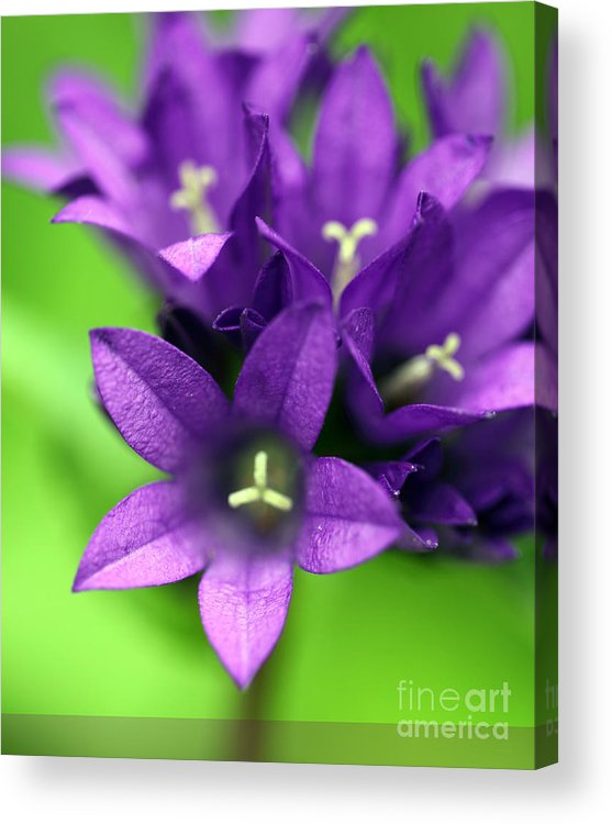 Floral Acrylic Print featuring the photograph Purple Blooms by Amanda Barcon