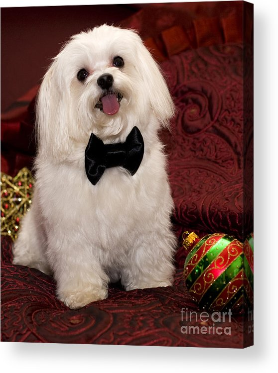Maltese Acrylic Print featuring the photograph Smile by Leslie Leda
