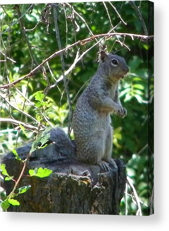Squirel Acrylic Print featuring the photograph Squirel by Tina Barnash