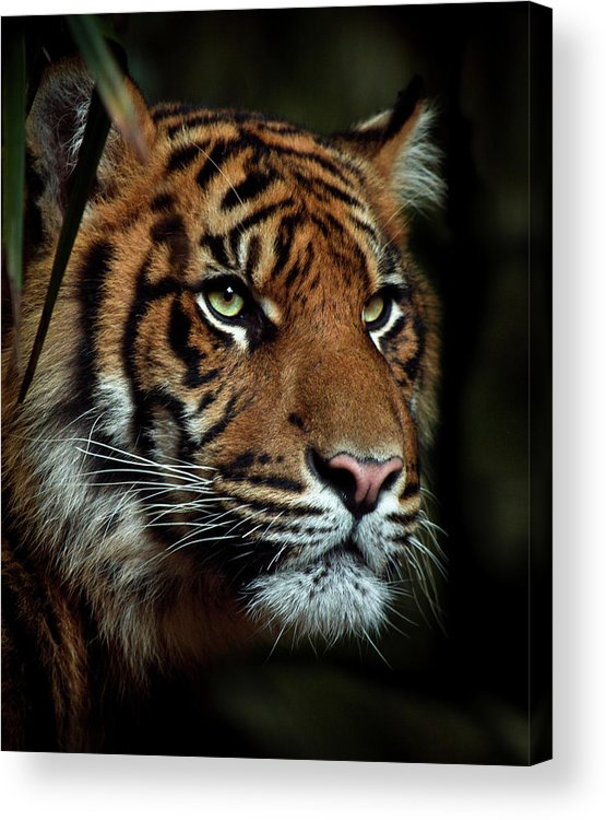 Tiger Acrylic Print featuring the photograph The Tiger by Animus Photography