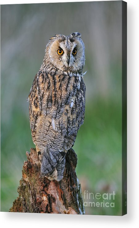 Long-eared Owl Acrylic Print featuring the photograph 090811p316 by Arterra Picture Library