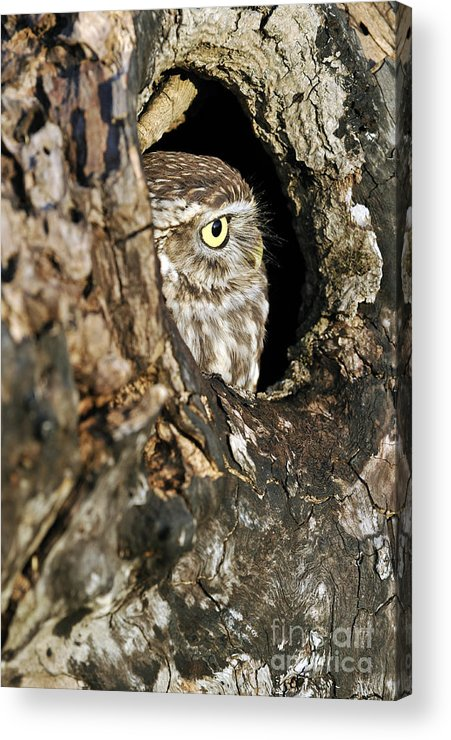 Little Owl Acrylic Print featuring the photograph 090811p325 by Arterra Picture Library
