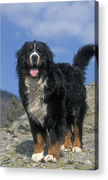 Bernese Mountain Dog Acrylic Print featuring the photograph Bernese Mountain Dog by Jean-Michel Labat