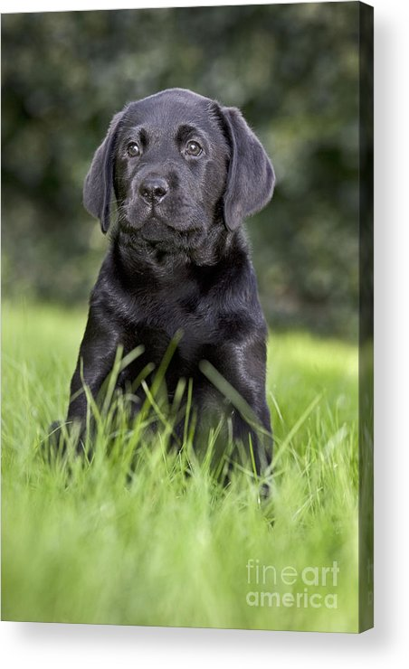 Labrador Retriever Acrylic Print featuring the photograph Black Labrador Puppy by Johan De Meester