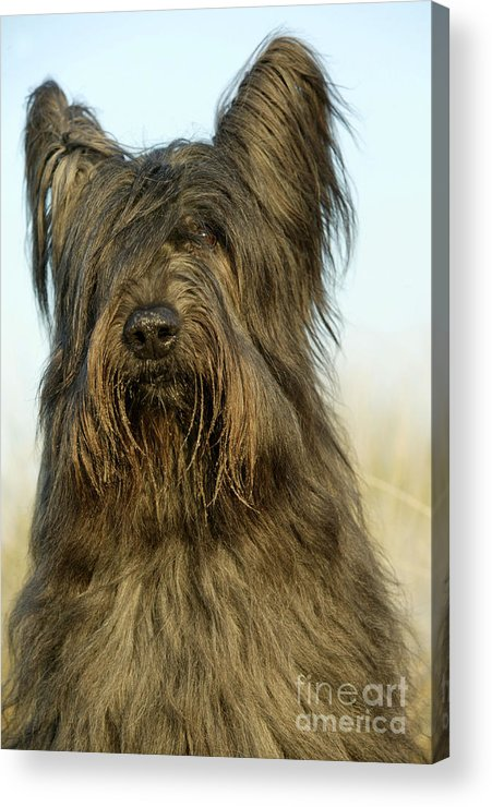 Briard Acrylic Print featuring the photograph Briard Dog by Jean-Michel Labat