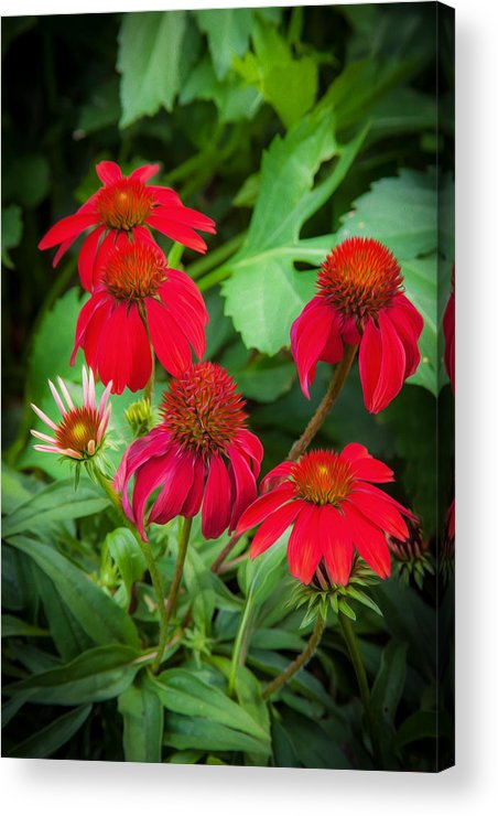 Echinacea Acrylic Print featuring the photograph Coneflowers Echinacea Rudbeckia by Rich Franco