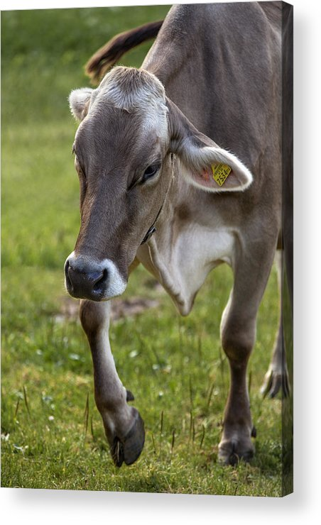 Cow Acrylic Print featuring the photograph Cow In Heiterwang by Radka Linkova