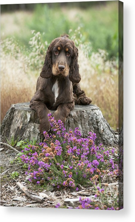English Cocker Acrylic Print featuring the photograph English Cocker Spaniel by John Daniels