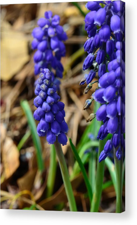 Grape Hyacinths Acrylic Print featuring the photograph Grape Hyacinths by Larry Bishop