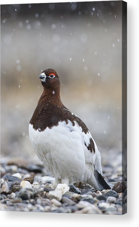 Adult Acrylic Print featuring the photograph In Falling Snow by Tim Grams