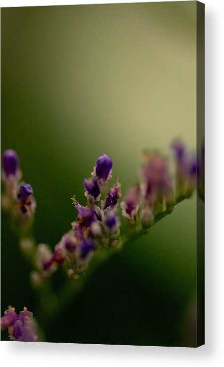 Purple Bud Framed Prints Acrylic Print featuring the photograph Purple Bud by Kevin Bone