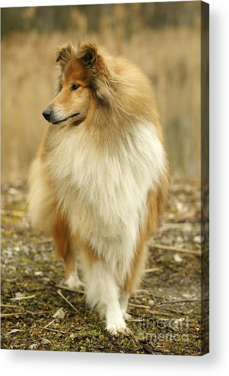 Rough Collie Acrylic Print featuring the photograph Rough Collie Dog by Jean-Michel Labat