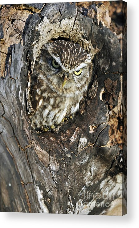 Little Owl Acrylic Print featuring the photograph 100205p260 by Arterra Picture Library
