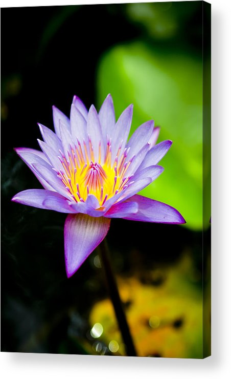 Flowers Acrylic Print featuring the photograph Purple Lotus by Raimond Klavins