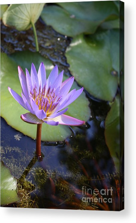 Purple Acrylic Print featuring the photograph Blue Water Lily by Irina Davis