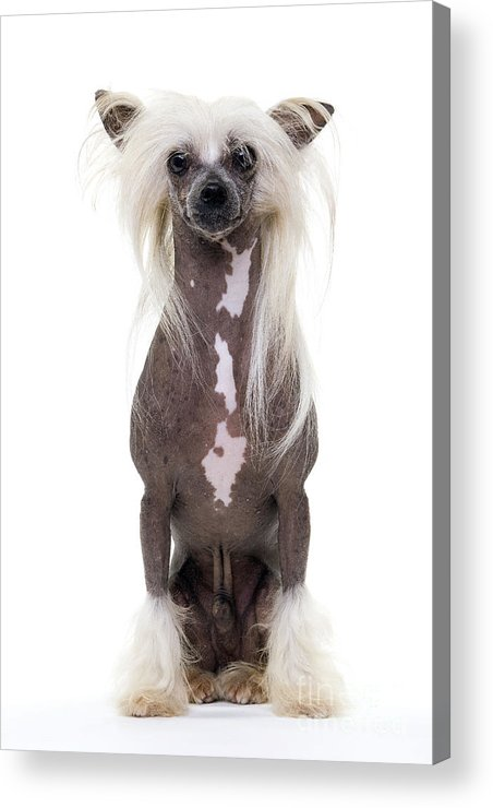 Chinese Crested Acrylic Print featuring the photograph Chinese Crested Dog by Jean-Michel Labat