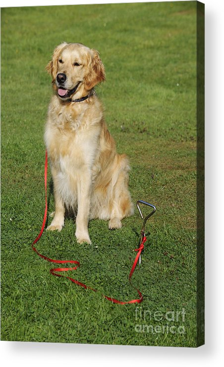Golden Retriever Acrylic Print featuring the photograph Golden Retriever Dog by John Daniels