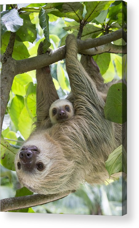 Suzi Eszterhas Acrylic Print featuring the photograph Hoffmanns Two-toed Sloth And Old Baby by Suzi Eszterhas
