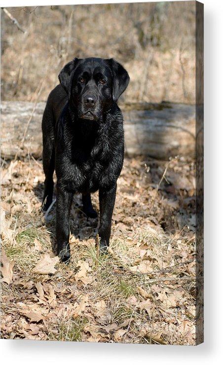 Black Lab Acrylic Print featuring the photograph Black Labrador Retriever by Linda Freshwaters Arndt