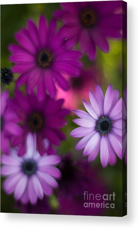 Flower Acrylic Print featuring the photograph African Daisy Collage by Mike Reid