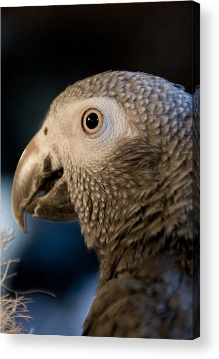 African Gray Acrylic Print featuring the photograph African Gray 1 by Jason Standiford