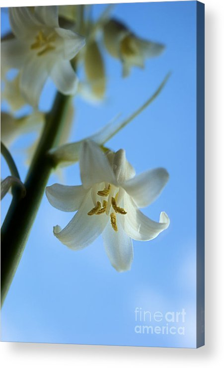 White Acrylic Print featuring the photograph Albino Bluebells 2 by Brian Raggatt