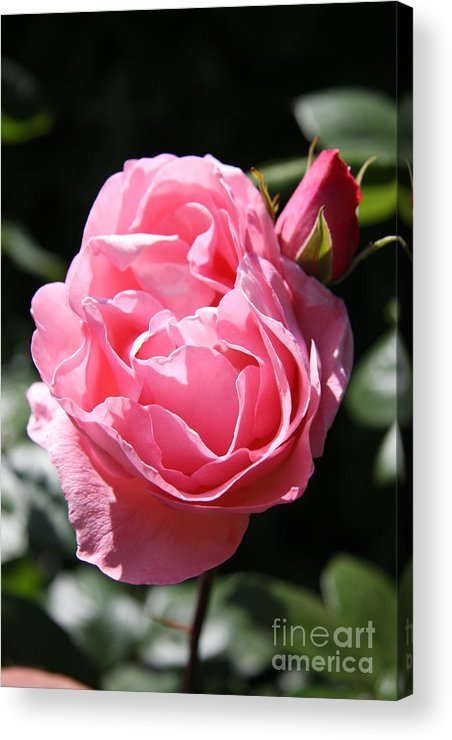 Rose Acrylic Print featuring the photograph All Shades Of Pink by Christiane Schulze Art And Photography
