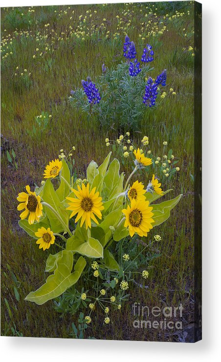 Nature Acrylic Print featuring the photograph Arrowleaf Balsamroot And Lupine by John Shaw