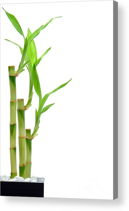 Bamboo Acrylic Print featuring the photograph Bamboo Stems In Black Vase by Olivier Le Queinec