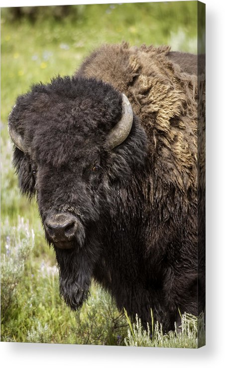 Bison Acrylic Print featuring the photograph Big Bruiser Bison by Carolyn Fox