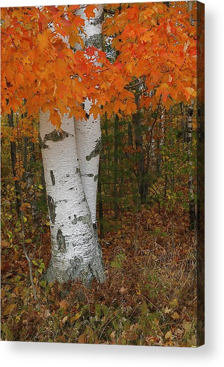 Birch Tree Acrylic Print featuring the photograph Birch In Autumn by Jon Reddin Photography