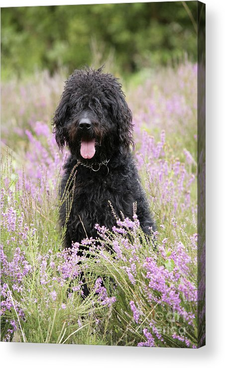 Labradoodle Acrylic Print featuring the photograph Black Labradoodle by John Daniels