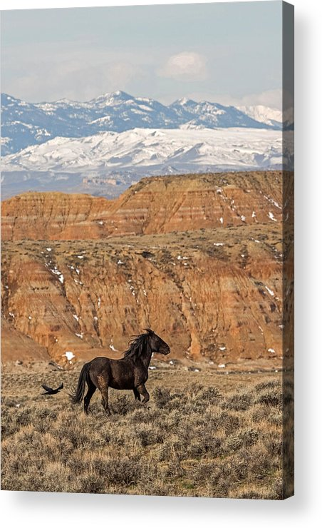 Black Stallion Acrylic Print featuring the photograph Black Magic by Sandy Sisti