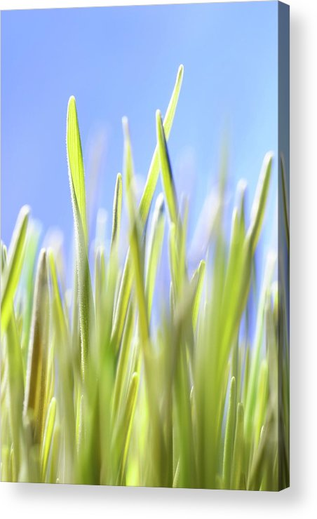 Agricultural Acrylic Print featuring the photograph Blades Of Wheatgrass by Cordelia Molloy