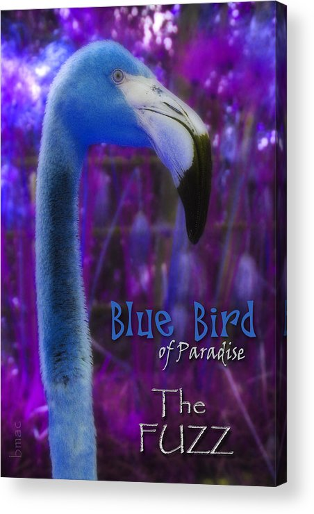 Flamingo Acrylic Print featuring the photograph Blue Bird Of Paradise - The Fuzz by Barbara MacPhail