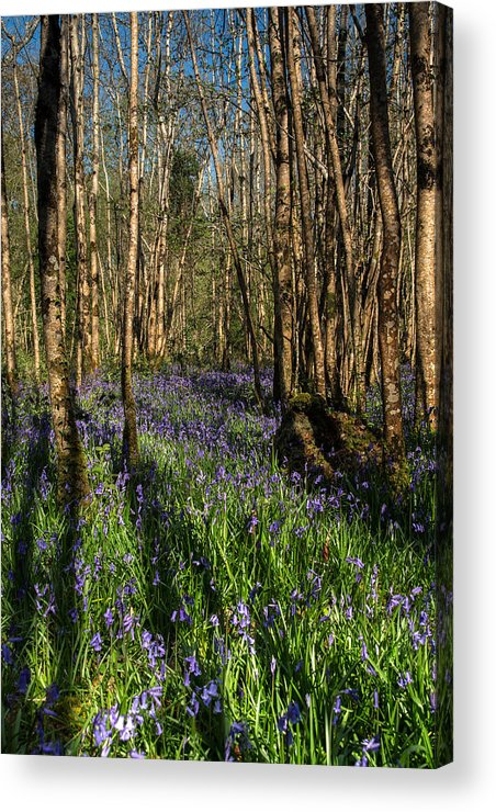Landscape Acrylic Print featuring the photograph Bluebells In May by David T Kavanagh