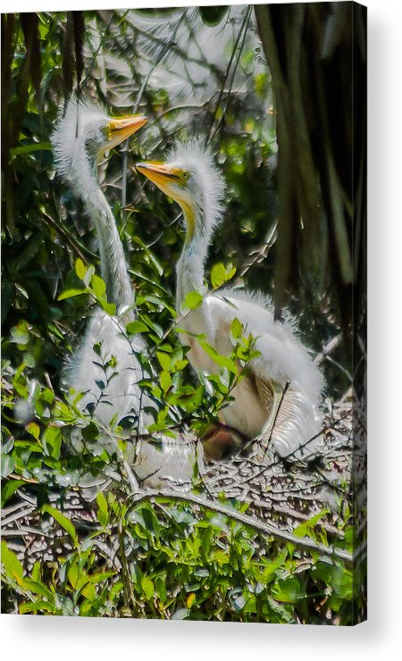 Great Egret Acrylic Print featuring the photograph Brothers by Charles Moore