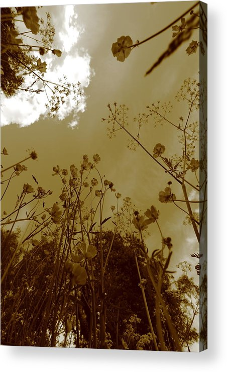 Abundance Acrylic Print featuring the photograph Buttercup Flowers Seen From Below - Monochrome by Ulrich Kunst And Bettina Scheidulin