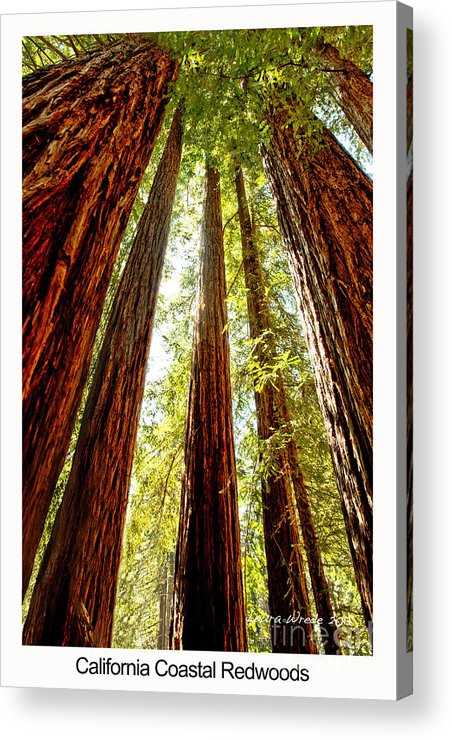 Redwoods Acrylic Print featuring the photograph California Coastal Redwoods by Artist and Photographer Laura Wrede