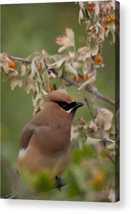 Bird Acrylic Print featuring the photograph Cedar Waxwing by Jason Standiford