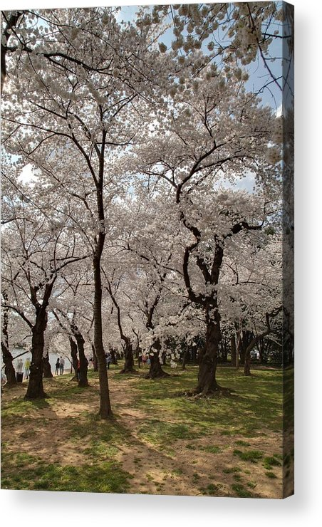 America Acrylic Print featuring the photograph Cherry Blossoms - Washington Dc - 011378 by DC Photographer