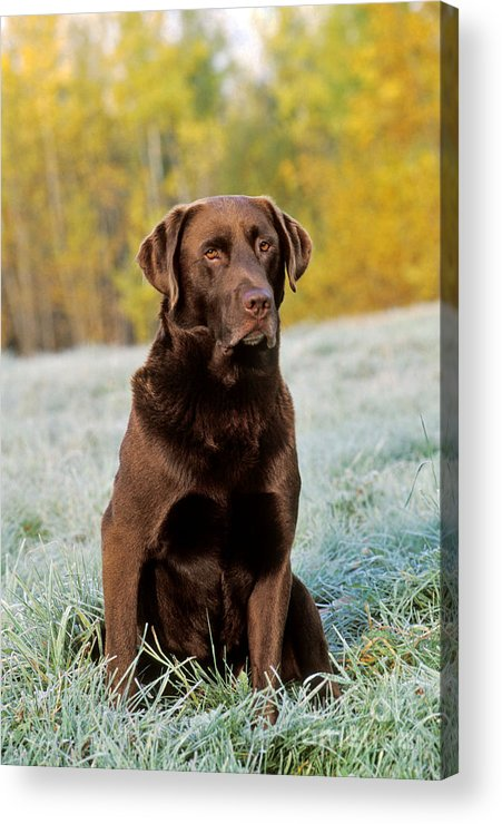 Labrador Retriever Acrylic Print featuring the photograph Chocolate Labrador Retriever by Rolf Kopfle