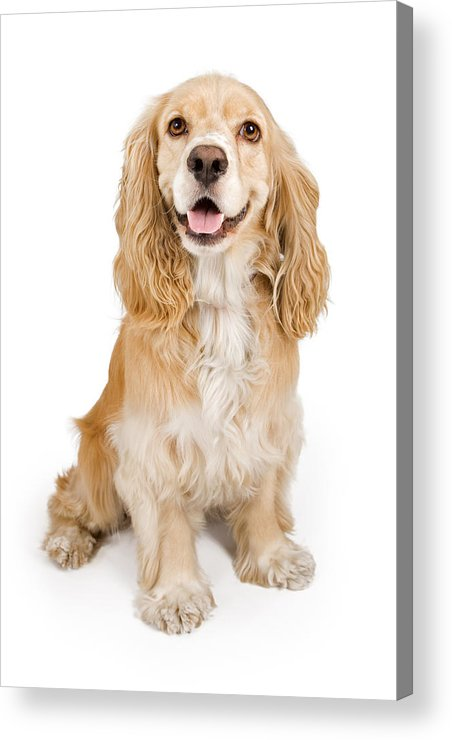 Dog Acrylic Print featuring the photograph Cocker Spaniel Dog Isolated On White by Susan Schmitz