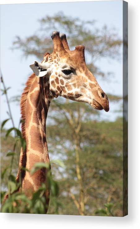 Giraffe Acrylic Print featuring the photograph Curious Giraffe 2 by Pat Tracey
