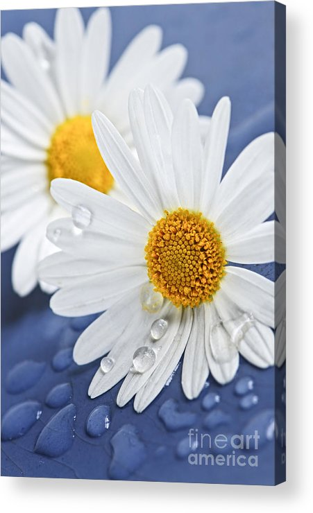 Flower Acrylic Print featuring the photograph Daisy Flowers With Water Drops by Elena Elisseeva
