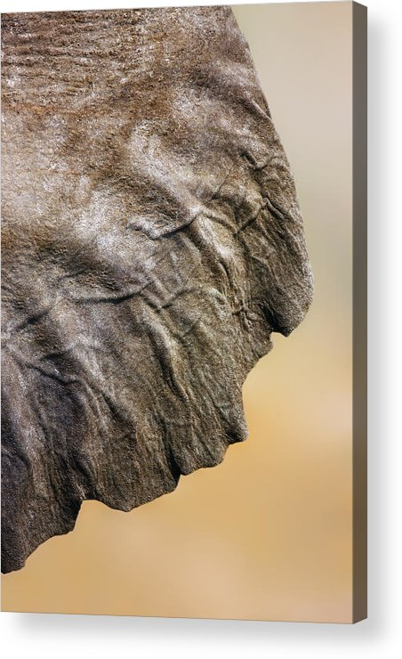 Texture Acrylic Print featuring the photograph Elephant Ear Close-up by Johan Swanepoel