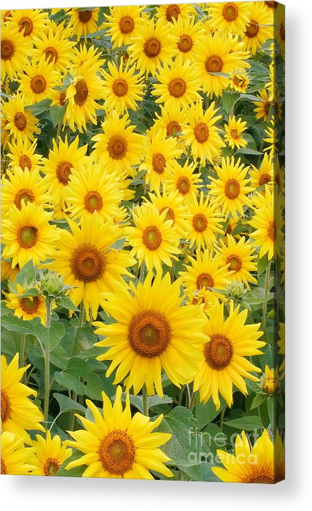 Flora Acrylic Print featuring the photograph Field Of Sunflowers Helianthus Sp by David Davis